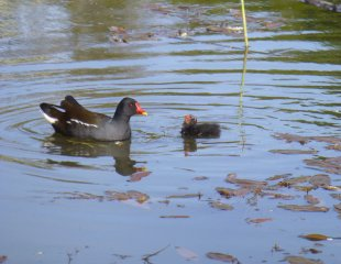 Moorhens on the pond at Brocks Hill Country Park